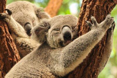Póster Koalas Dormir