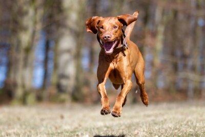 Póster Kooikerhondje perro al aire libre en la naturaleza