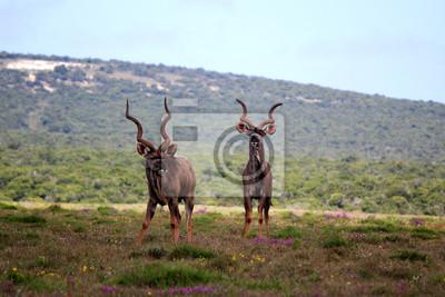 Kudu macho