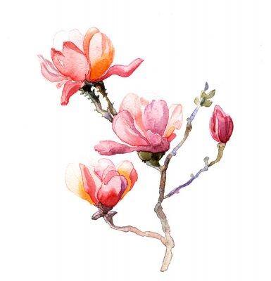 Póster la acuarela de la magnolia aislada en el fondo blanco