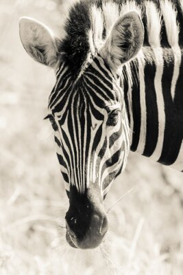 Póster La cabeza Zebra Retrato de Vida Silvestre Negro Blanco vintage
