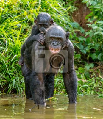 La madre bonobo con el bebé boca arriba está de pie en el agua. República Democrática del Congo. África.