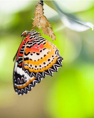 Póster La mariposa del lacewing del leopardo sale de la crisálida
