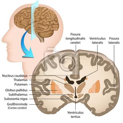 La sección transversal de anatomía del cerebro humano, los ganglios ...