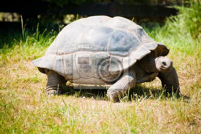 La tortuga Santa-Cruz Galápagos
