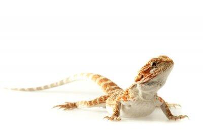 Póster Lagarto Mascota Dragón barbudo aislado en blanco, enfoque limitado