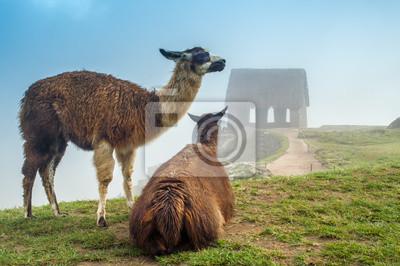 Lama en Machu Picchu
