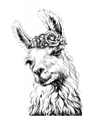 Póster Lama/Alpaca. Sticker on the wall in the form of an outline, hand-drawn artistic portrait of a lama on a white background.