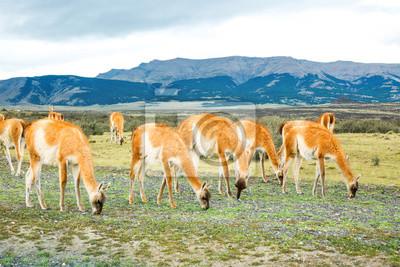 Lamas de Guanaco en el parque nacional Torres del Paine, Patagonia, Chile, América del Sur