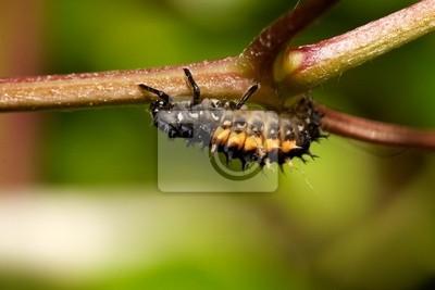 Larvas de Mariquita