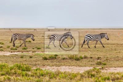 Las cebras ganado en la sabana africana