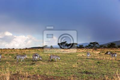 Las cebras ganado en la sabana africana.