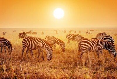 Póster Las cebras ganado en la sabana africana al atardecer.