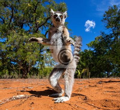 Lemur de cola anillada de Madagascar