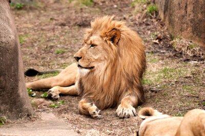 Póster León africano