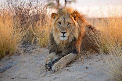 Póster León africano macho grande, desierto de Kalahari