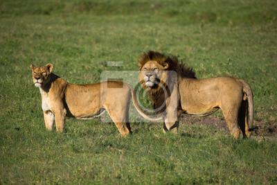 León con leona en la sabana africana