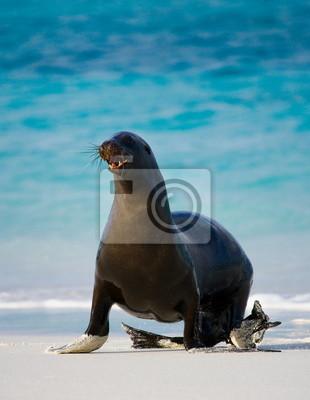León de mar en la playa. Islas Galápagos.