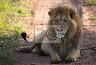 León en el camino de la sabana en luz de la mañana
