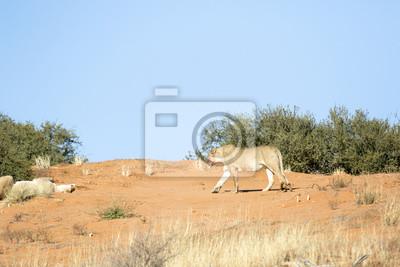León en el Kalahari