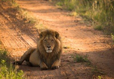 León en la carretera africana de la mañana