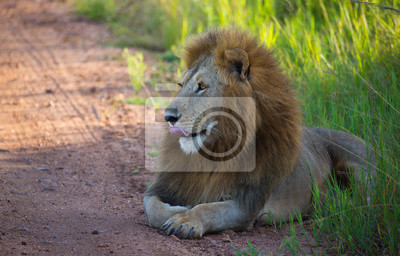 León hermoso en la carretera africana