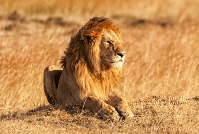 Póster León masculino en Masai Mara