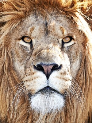 Póster León (Panthera leo)