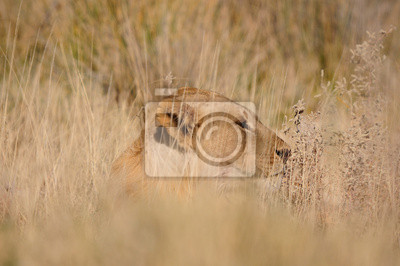 León, Panthera leo, en el Parque Nacional de Etosha