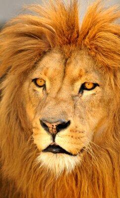 Póster león solos