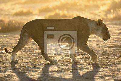Leona caminando al amanecer