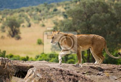 Leona en la sabana africana