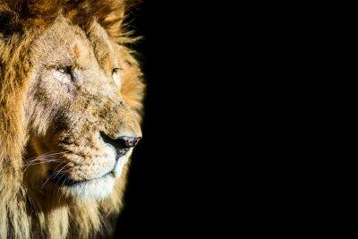 Póster leone - león