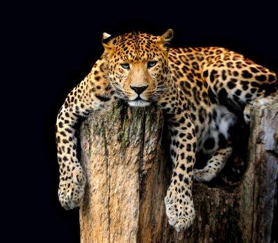 Póster Leopard aislado sobre fondo negro