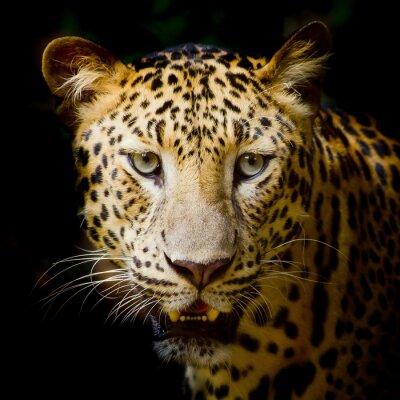 Póster Leopard portrait