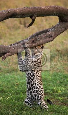 Leopard. Tanzania. Pose inusual.
