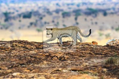 Leopardo de Masai Mara