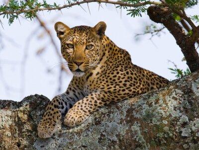 Leopardo en el árbol