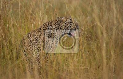 Leopardo en el parque nacional Masai Mara kenia