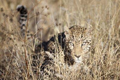 Leopardo moviéndose a través del bushveld