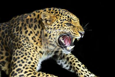 Leopardo salvaje