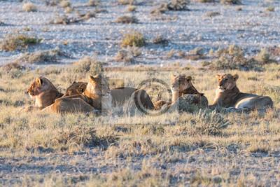 Lion Group en Etosha