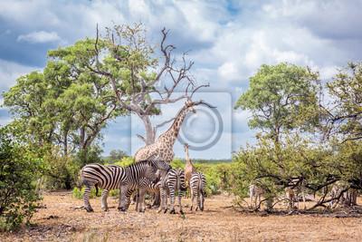 Llanuras de cebra en el Parque Nacional Kruger, Sudáfrica
