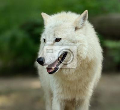 Lobo blanco en bosque