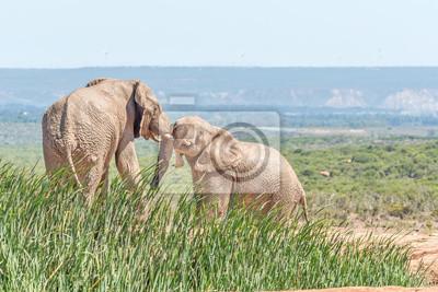Lodo cubierto de elefantes luchando