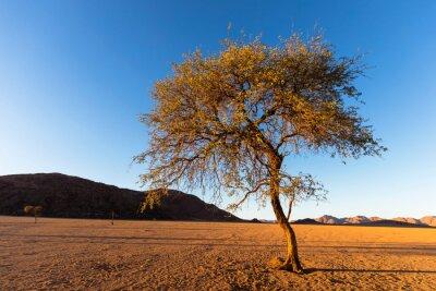 Lone camel thorn tree in Namib Desert