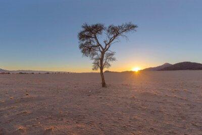 Lone camel thorn tree in the desert at sunrise