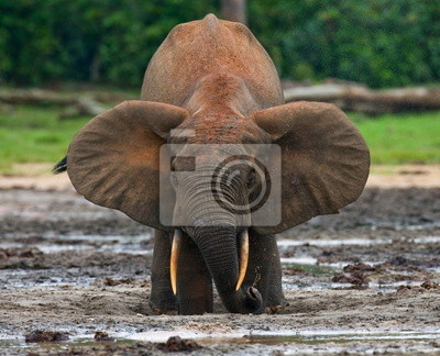 Los elefantes del bosque bebiendo agua salada. Jungle.