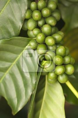 Los granos de café sobre la rama en Kauai, Hawaii