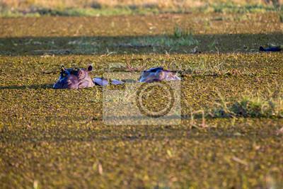 Los hipopótamos disfrutando el río Kwai, Botswana